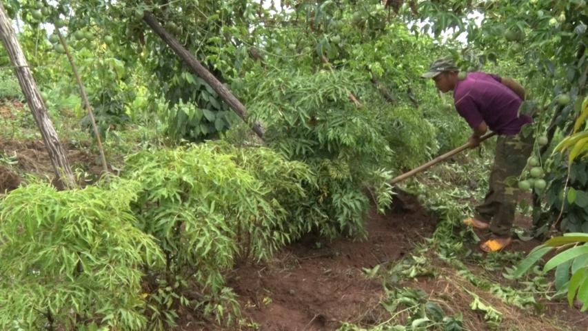 Trồng cây Đinh Lăng -Triển vọng phát triển kinh tế ở xã Hơ Moong
